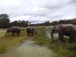 Antelope-park-elephants-enjoying-vegetation