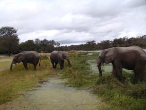 Antelope-park-elephants-enjoying-vegetation